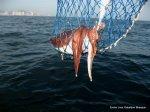 Pescando sepias (1)
