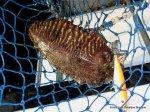 Pescando sepias (2)