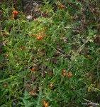 Tomatitos (1)