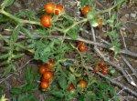 Tomatitos (2)