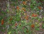 Tomatitos (3)