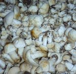 Calocybes gambosa 2012 (121)