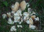 Calocybes gambosa 2012 (170)