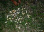 Calocybes gambosa 2012 (211)