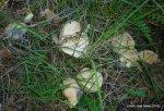 Calocybes gambosa 2012 (26)