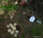 Calocybes gambosa 2012 (34)