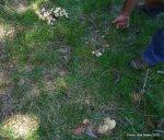 Calocybes gambosa 2012 (52)