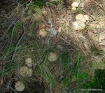 Calocybes gambosa 2012 (54)